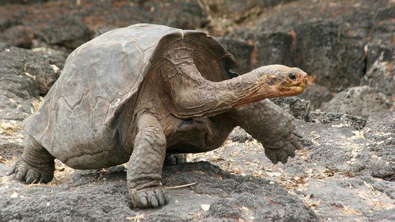 لاکپشت بزرگ گالاپاگوس