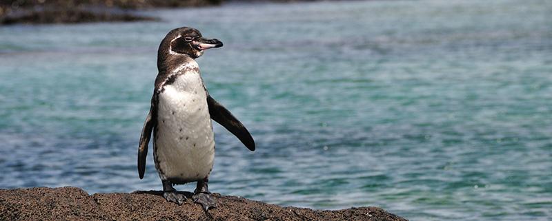 پنگوئن گالاپاگوس